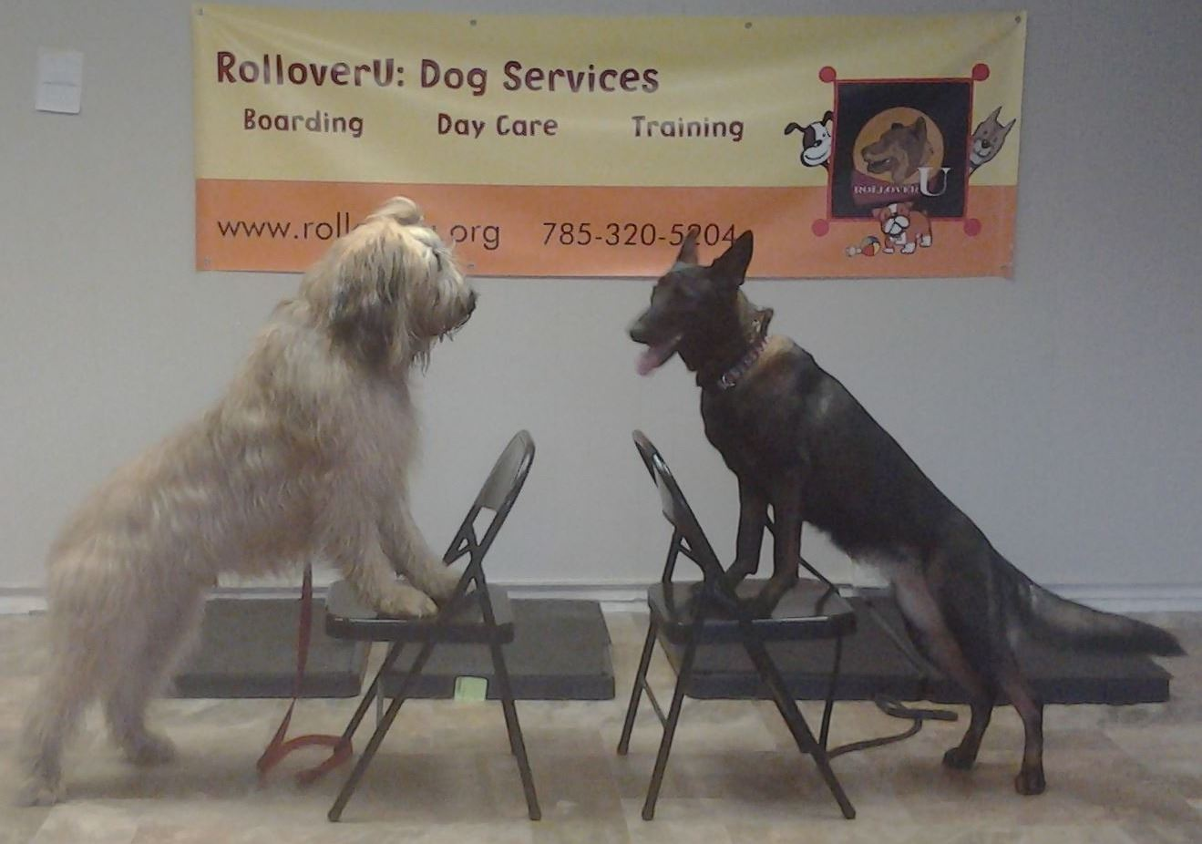 Two dogs on chairs